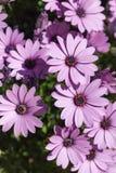 Ramo de Osteospermums púrpura durante la primavera Imagen de archivo libre de regalías