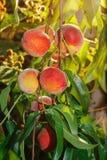 Ramo de pêssegos maduros Fotos de Stock Royalty Free