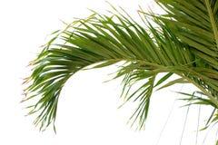 Ramo de palmeira fotografia de stock
