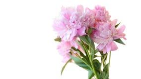Ramo de peon?as florecientes en el fondo blanco