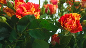 Ramo de pequeñas rosas de las rosas amarillas y rojas descripción La cámara se mueve de izquierda a derecha almacen de video
