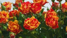 Ramo de pequeñas rosas de las rosas amarillas y rojas Golpe de la cámara en una flor Primer almacen de metraje de vídeo