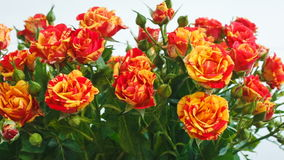 Ramo de pequeñas rosas de las rosas amarillas y rojas se están sacudiendo en el viento metrajes