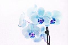Ramo de phalaenopsis de las orquídeas azules en el fondo blanco Imagenes de archivo
