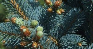 Ramo de pinheiro filme