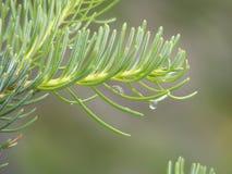 Ramo de pinheiro Fotografia de Stock Royalty Free