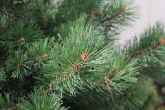 Ramo de pinheiro Foto de Stock