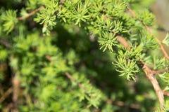 Ramo de pinheiro Agulhas de florescência do pinheiro e do pinho Imagens de Stock Royalty Free