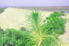 Ramo de pinheiro branco oriental fotografia de stock royalty free