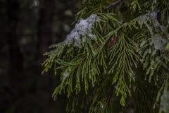 Ramo de pinheiro delicado com os cristais de gelo nas folhas imagem de stock