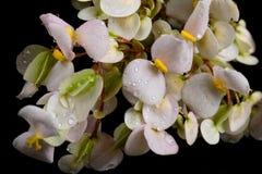 Ramo de plantas de florescência no orvalho em um fundo preto Imagens de Stock Royalty Free