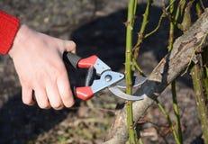 Ramo de poda do arbusto de rosas do jardineiro no jardim Prune Climbing Roses Como a Prune Roses Bush foto de stock royalty free