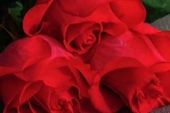 Ramo de primer vivo de las rosas del rojo o del escarlata, fondo floral Fotografía de archivo