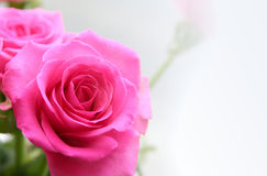 Ramo de rosas de rosa Foto de archivo libre de regalías