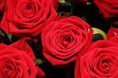 Ramo de rosas rojas maravillosas Imágenes de archivo libres de regalías