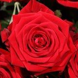 Ramo de rosas rojas maravillosas Foto de archivo