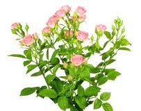 Ramo de rosas rosadas con los leafes verdes Foto de archivo libre de regalías