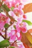 Ramo de ?rvore da ma?? da flor, flores cor-de-rosa das ma??s primavera Imagem tonificada foto de stock royalty free