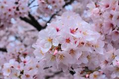 Ramo de Sakura Fotos de archivo