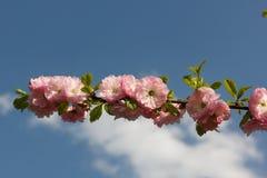 Ramo de Sakura Fotografia de Stock
