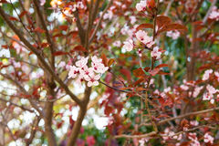 Ramo de Sakura com flor de cerejeira e as folhas vermelhas, folha verde no fundo, flores cor-de-rosa Imagens de Stock Royalty Free