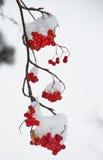 Ramo de suspensão da montanha nevado Ash Berries Fotografia de Stock Royalty Free