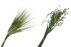Ramo de trigo y de avena Foto de archivo libre de regalías