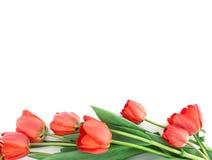 Ramo de tulipanes aislados en el fondo blanco Foto de archivo libre de regalías