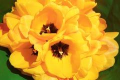 Ramo de tulipanes amarillos frescos Fotos de archivo