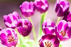 Ramo de tulipanes en la luz del sol Imágenes de archivo libres de regalías