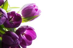 Ramo de tulipanes púrpuras frescos Tulipanes púrpuras en el fondo blanco Imágenes de archivo libres de regalías