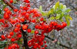 Ramo de um arbusto com as bagas brilhantes após a chuva de congelação Foto de Stock