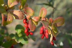 Ramo de um Berberis ordinário L vulgar da bérberis com berrie foto de stock