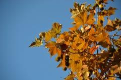 Ramo de um outono platan contra um fundo do céu claro fotografia de stock