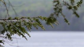 Ramo de um pinheiro que acena na brisa em uma floresta do norte filme