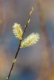 Ramo de um salgueiro na primavera Foto de Stock Royalty Free