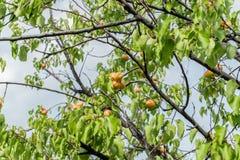 Ramo de uma árvore de abricó com frutos maduros contra o céu azul contínuo no verão Fotos de Stock Royalty Free