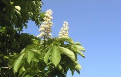 Ramo de uma árvore de castanha contra um céu azul fotos de stock royalty free