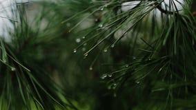 Ramo de uma árvore conífera com pingos de chuva video estoque