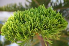 Ramo de uma árvore conífera em um dia ensolarado Foto de Stock Royalty Free
