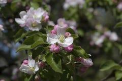 Ramo de uma árvore de maçã Foto de Stock Royalty Free