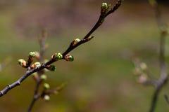 Ramo de uma árvore de maçã que cresce as folhas novas imagem de stock