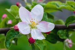 Ramo de uma Apple-árvore com uma flor branco-cor-de-rosa e os botões, um bea Foto de Stock