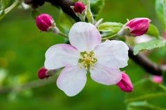Ramo de uma Apple-árvore com uma flor branco-cor-de-rosa e os botões, um bea Fotos de Stock