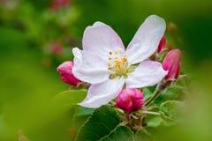 Ramo de uma Apple-árvore com uma flor branco-cor-de-rosa e os botões, um bea Imagem de Stock Royalty Free