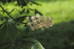 Ramo de uma castanha que floresça belamente Imagens de Stock Royalty Free