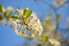 Ramo de uma cereja de florescência em um fundo borrado do céu azul fotografia de stock royalty free