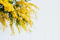ramo de uma mimosa em um fundo claro, copyspace para seu texto: cartão, placa, modelo, fundo para cumprimentos no mothe Imagem de Stock