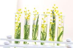 Ramo de uma mimosa de florescência em um vidro do laboratório, tubos de ensaio no branco imagem de stock royalty free
