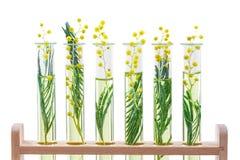 Ramo de uma mimosa de florescência em um vidro do laboratório, tubos de ensaio no branco foto de stock